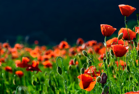 blossoming poppy field. beautiful summer nature background