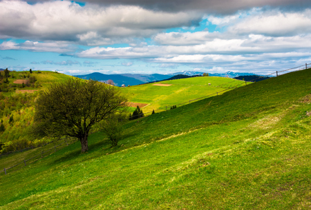 tree on a grassy slope of Carpathian rural area. beautiful landscape on a cloudy springtime day