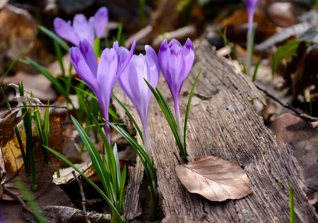 purple crocus flowers among the weathered foliage. beautiful springtime scenery in forest Stock Photo