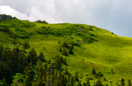 grassy hillside with spruce forest. lovely nature scenery in summer