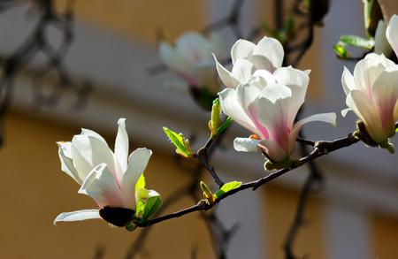 beautiful flowers of white magnolia. beautiful spring background