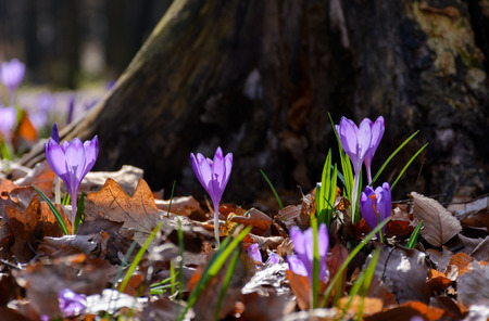 purple crocus flowers near the stump. beautiful springtime scenery in forest on a sunny day. power of nature concept