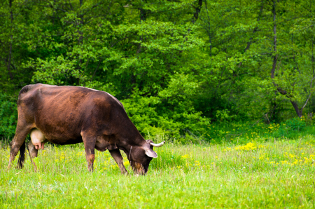 cow grazing on the grassy meadow near the forest. lovely rural scenery