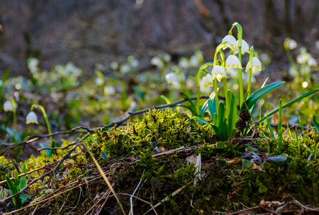 bunch of snowflake flowers on a mossy hump. lovely springtime background Stock Photo