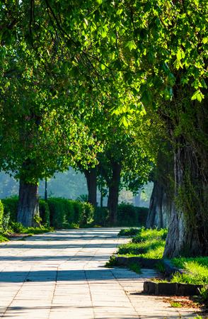 古い栗の木がある路地。春の素敵な都市の自然。