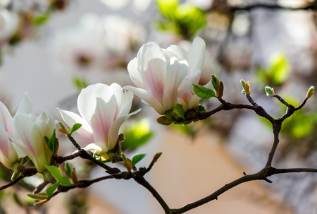 white flowers of magnolia tree blossom. lovely springtime background on a bright day