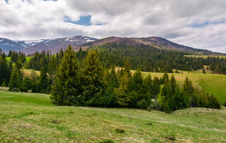 spruce trees on grassy hills in Carpathians. lovely springtime scenery in mountains on a cloudy day Stock Photo