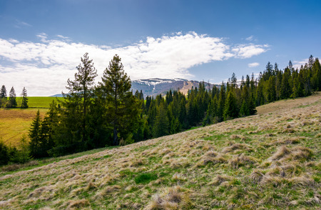 spruce forest on hills with weathered grass. lovely springtime scenery in Carpathian mountains Stock Photo