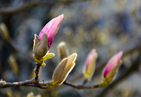 purple flowers of magnolia tree blossom. lovely springtime background on a bright day 스톡 콘텐츠