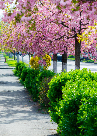 street with row of blossoming cherry trees. beautiful urban springtime scenery Stock Photo