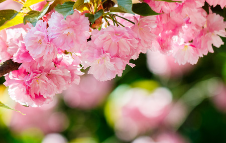 pink flowers of blossoming cherry on the branch. lovely nature scenery Stock Photo