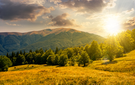beech forest on grassy meadows in mountains at sunset. beautiful Landscape at the foot of Carpathian mountain Apetska