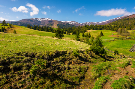 beautiful Carpathian countryside in springtime. Coniferous trees on grassy rolling hills. Borzhava mountain ridge with snowy tops in the distance. blue sky with some clouds Stock Photo