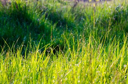 朝露が落ちる草。素敵な自然の背景 写真素材