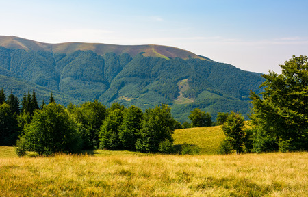 beech forest on grassy meadows in mountains. beautiful Landscape at the foot of Carpathian mountain Apetska Stock Photo