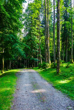country road through forest in evening light. lovely nature scenery with tall trees and green foliage
