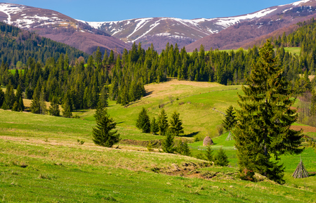 beautiful springtime landscape of Carpathians. coniferous forest on a grassy meadow at the foot of the mountain on a bright sunny day Stock Photo