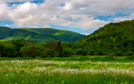 dandelion blossom on a rural field. beautiful countryside scenery in mountainous area