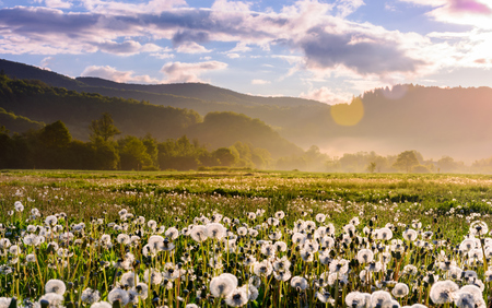 dandelion field on foggy sunrise. beautiful agricultural scenery in mountains Stock Photo