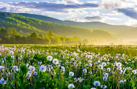dandelion field on foggy sunrise. beautiful agricultural scenery in mountains Фото со стока
