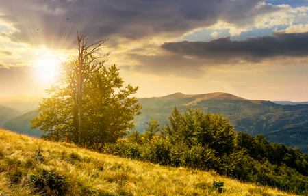 tree on the grassy hillside on at sunset. lovely summer landscape of Carpathian mountain Svydovets ridge. 版權商用圖片