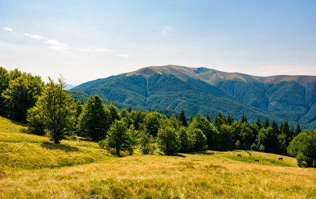 beech forest on grassy meadows in mountains. beautiful Landscape at the foot of Carpathian mountain Apetska Stock Photo - 99265336