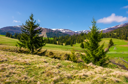 beautiful Carpathian countryside in springtime. Coniferous trees on grassy rolling hills. Borzhava mountain ridge with snowy tops in the distance. blue sky with some clouds Stok Fotoğraf
