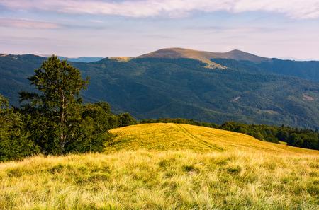 beech tree on grassy hillside in evening. beautiful landscape of Svydovets ridge in summertime Stock Photo