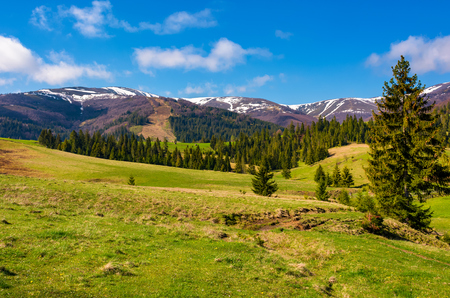 forested hills and grassy meadows in springtime. beautiful landscape of Borzhava mountain ridge with snowy tops in the distance Stock Photo