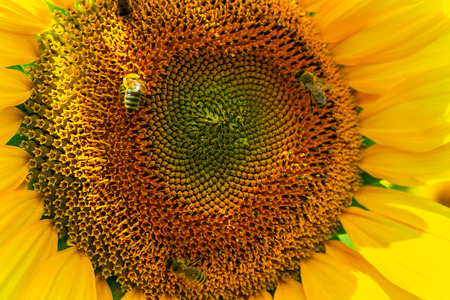 bees gathering pollen of the sunflower. insect on yellow flower close up