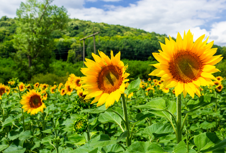 sunflower field in the mountains. lovely agricultural background. fine sunny weather with some clouds on a blue sky