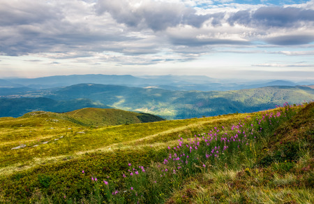 fire-weed among the grass on hill in late summer. beautiful mountainous landscape on a cloudy day Stock Photo