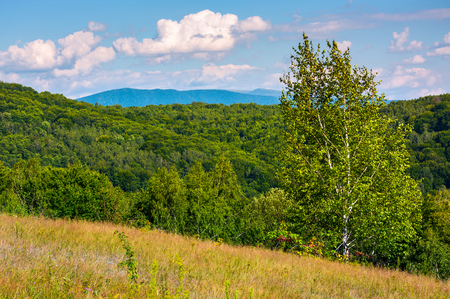 山の草の丘の中腹に背の高いシラカバの木。午後の美しい夏の風景