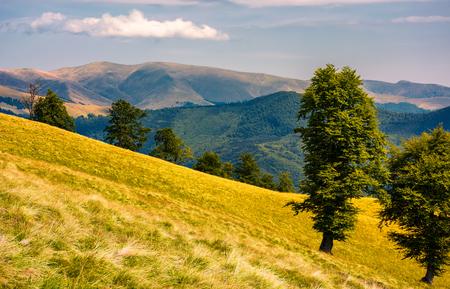tree on the grassy hillside. Svydovets mountain ridge in the distance. beautiful summer nature scenery of Carpathian mountains, Ukraine