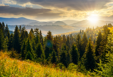 spruce forest in mountains at sunset. lovely summer landscape