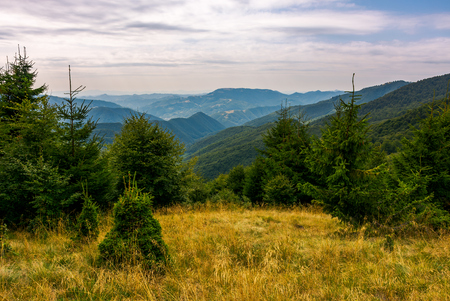 forest on a grassy meadow in mountains in evening. lovely summer landscape with Krasna mountain ridge in the distance under the cloudy sky