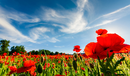 poppy flowers field under the blue sky with clouds. beautiful summer landscape at sunset Stock Photo