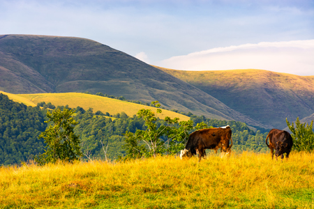 cows grazing near beech forest in mountains. lovely countryside landscape in summer Stock Photo