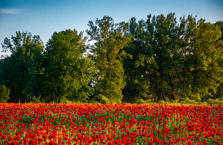 forest behind the poppy field. lovely nature scenery in evening light.