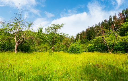 abandoned apple orchard. lovely springtime scenery among forested mountains Stock Photo