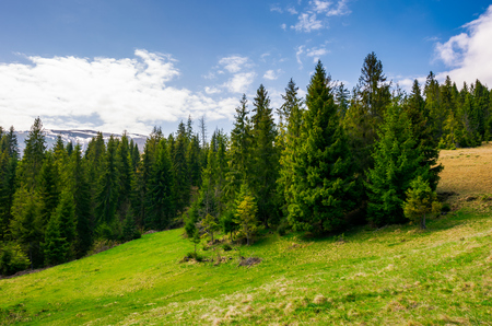 spruce forest on a hill side meadow in high mountains on a cloudy summer day Stock Photo