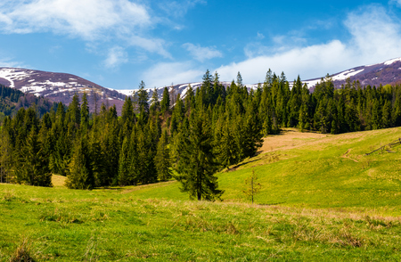 Spruce forest on  the grassy hills. beautiful nature scenery of Carpathian countryside. lovely landscape with snowy mountain tops in the distance Stock Photo