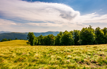 beech forest on grassy hillside. lovely scenery of Carpathian landscape in summer. location Svydovets ridge, Ukraine