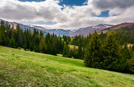 beautiful landscape with spruce forest. landscape of Borzhava mountain ridge in springtime. snowy mountain tops in the distance under the cloudy sky
