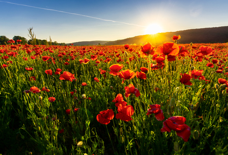 poppy flowers field in mountains. beautiful summer landscape at sunset 스톡 콘텐츠