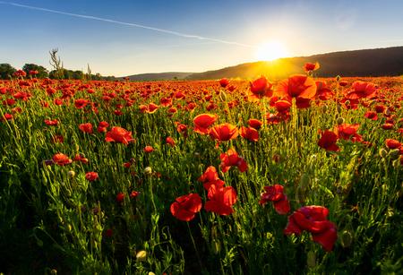 champ de fleurs de pavot dans les montagnes. beau paysage d'été au coucher du soleil