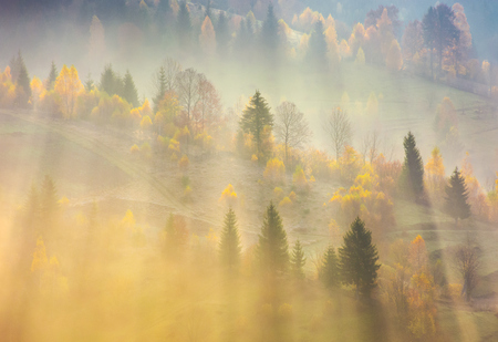 fog over the forest in morning light. beautiful nature background. trees with yellow foliage on rolling hills in autumn. amazing atmosphere in Carpathian mountains Standard-Bild