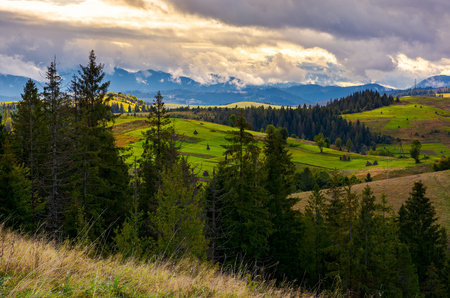 cloudy morning in Carpathian countryside. lovely nature scenery with spruce forest and grassy hills.  Stock Photo