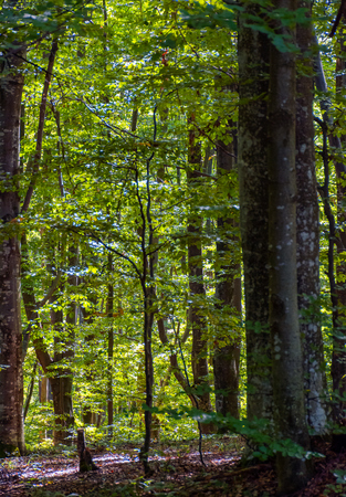 look in to the deep dark beech forest in summer. lovely nature background with tall trees and green foliage Stock Photo