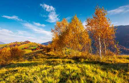 yellow birch trees in mountains at sunrise. beautiful countryside scenery in autumn with rural fields on hill in the distance under the lovely blue sky with some clouds Stock Photo